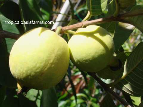 Yellow South African Guavas