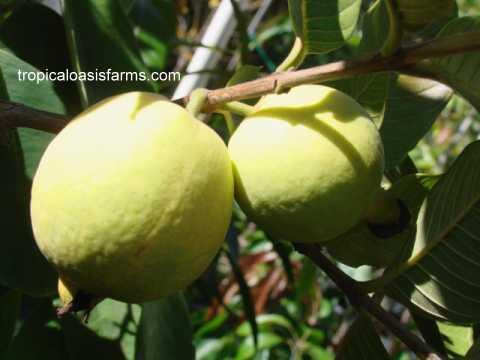 Sub Tropical Fruit Trees