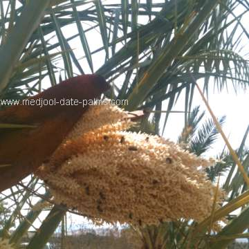 Male Date Palm Flower: source of Fresh Date Palm Pollen for Pollination