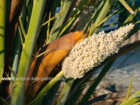 Male Date Palm Flower: Fresh Date Palm Pollen for Medjool Date Palm Pollination