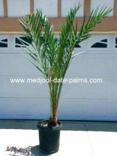 Medjool Date Palm Offshoot in 15 Gallon Pot, 8 Years Old