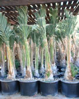 Medjool Date Palm Offshoots in 25 gallon pots
