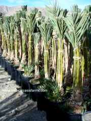 Medjool Date Palm Rooted offshoots