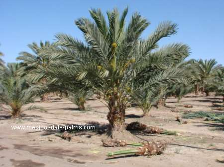 Medjool Date Palm with Medjool Offshoots Removed