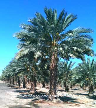 Medjool Date Palm Grove, 10 Years After Planting In The Field
