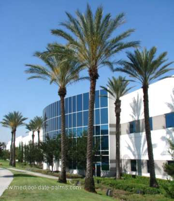 40 foot tall Medjool Date Palms used in Landscaping Near a Commercial Building in California