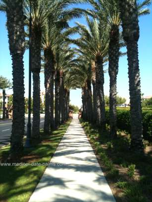 Medjool Date Palms lining a sidewalk in Southern California