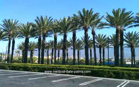 Medjool Date Palms used in Landscaping in California
