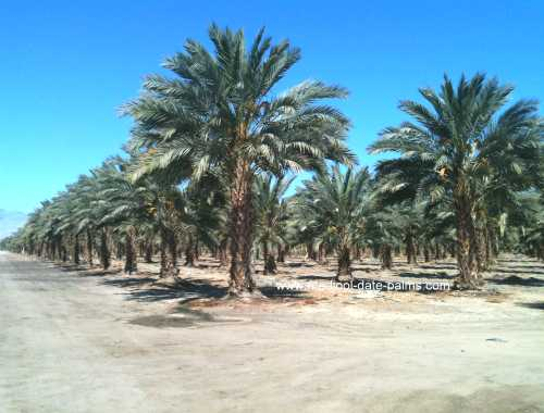 Medjool Date Palms for sale in California