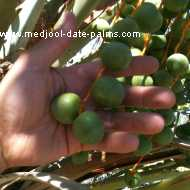 2 Month Old Green Medjool Dates on a Medjool Date Palm