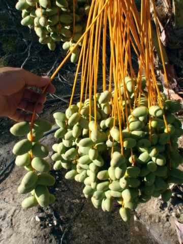 4 Month Old Green Medjool Dates on a Medjool Date Palm - Late Kimri Stage of Ripening