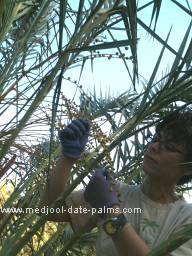 Examining one week old Green Medjool Dates on a Medjool Date Palm