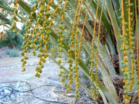 One week old pollinated Medjool Dates on a Female Medjool Date Palm