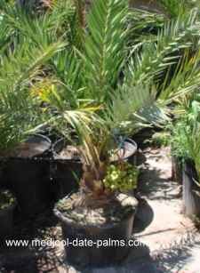 12 year old Rooted Medjool Date Palm Offshoot already with Medjool Dates