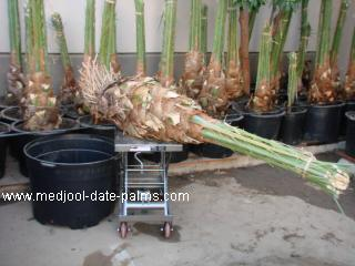Planting a 300 pound Medjool Date Palm Offshoot into a 65 gallon pot