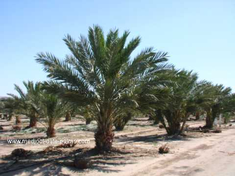 Medjool Date Palm Grove After 4 Years