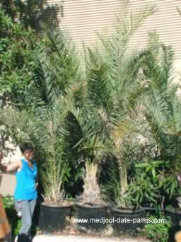 Zahidi Date Palm Offshoots in 25 gallon pots